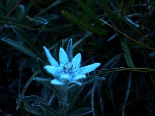[Pralognan]L'été à Pralognan Edelweiss