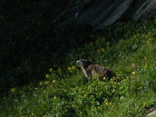 [Pralognan]L'été à Pralognan Marmotte2